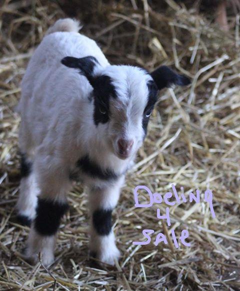 Suzie goat